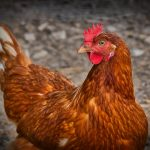 Raamatun linnut: Kana on Jumalan äidillisyyden symboli